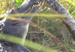 L'alligatore di quattro metri divora un pitone gigante Le riprese di un fotografo nelle Everglades, in Florida - CorriereTV