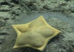 La stella marina che sembra un grosso raviolo L'esemplare ripreso nelle profondità dell'Oceano Atlantico - CorriereTV