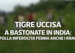 Tigre uccisa a bastonate in India: la folla inferocita ferma anche i ranger. La videoscheda L'agguato nella riserva di Pilibit, a circa 350 km a est di Nuova Delhi: uomini hanno colpito la tigre con bastoni e coltelli - Corriere Tv