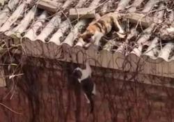 «Tu qui non sali»: il gatto lancia il rivale dal tetto Il video è diventato virale perché ricorda una scena del «Re Leone» - D
