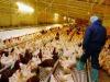 Antibiotici, 50% consumo in Italia è negli allevamenti