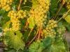 Berlucchi e Antares sperimentano 4.0 per uva
