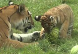 Germania, cuccioli di tigre 'sfidano' un cocomero Tre cuccioli di tigre giocano allo zoo di Hannover - Ansa
