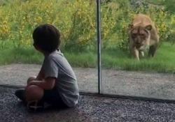 Il leone cerca di agguantare il bimbo (ma per fortuna c'è il vetro di protezione) Il video da uno zoo di New Orleans, negli Usa - CorriereTV