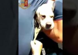 Labrador chiuso in auto sotto al sole: salvato dalla polizia Il cucciolo sta bene, i proprietari sono stati denunciati - Ansa