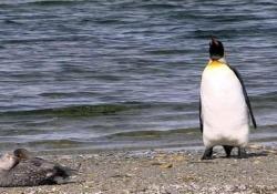 Il pinguino e l'anatra:  divertente scenetta sulla spiaggia Il pinguino esce dall'inquadratura, pian piano e  con passo nervoso - CorriereTV