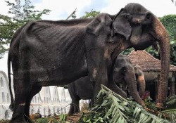Tikiri, l'elefantessa pelle e ossa costretta a sfilare a 70 anni Le immagini diffuse da una emittente tv dello Sri Lanka e la denuncia di : «Il suo corpo malato nascosto alla vista dei turisti dai paramenti - Corriere Tv