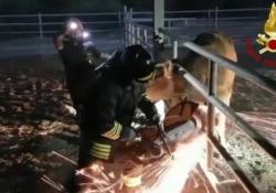 Toro intrappolato con la testa nel recinto, arrivano i pompieri con la motosega Testa incastrata tra le sbarre, libero grazie a sega elettrica - Ansa