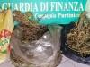 Droga, piantagione di marijuana a Partinico: avrebbe fruttato 1 milione