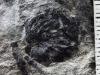 la pianta fossile Brinkia kerpiana