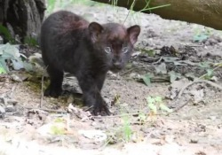 Al Parco delle Cornelle nascono due cuccioli di pantera nera: le prime immagini «Ci aiutate a scegliere i loro nomi?» si legge in un post pubblicato sulla pagina Facebook del parco  - Corriere Tv
