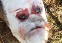 Argentina, il vitello mutante con il volto «umano» Sembra avere un naso e una bocca simili a quelli di un volto umano - CorriereTV