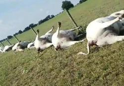 Come una scena di «Stranger Things»: il fulmine uccide 23 mucche contemporaneamente Dopo una violenta tempesta, un allevatore in Texas è stato testimone di una scena orribile - CorriereTV