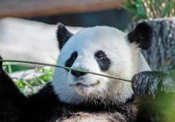 Ecco i primi panda nati allo zoo di Berlino I cuccioli più piccolo di una mano - Agenzia Vista/Alexander Jakhnagiev