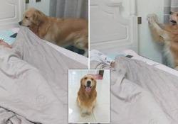 Il dolcissimo cagnolone che rimbocca le coperte alla padrona a letto Il simpatico video del Golden Retriever Tianlang, cinque anni, diventato virale in Cina - CorriereTV