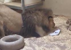 Il papà leone si avvicina al suo cucciolo per la prima volta: il video è dolcissimo L'incontro nel recinto dello zoo di Denver, negli Usa - CorriereTV