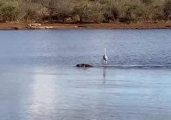 Sudafrica, airone naviga sull'acqua a bordo dell'ippopotamo  Trasporto eccezionale sul laghetto Sunset Dam all'interno del Kruger National Park dove il volatile ha attraversato il laghetto con un particolare mezzo di trasporto - Corriere Tv