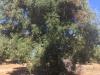 Xylella: consigliere Puglia,a Ostuni albero infetto-fantasma
