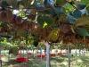 ANSA/ Addio a Frieda Caplan, regina del kiwi dAmerica