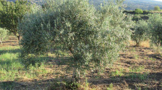 belice, olio, olive, Trapani, Economia