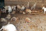 Strage di ovini a Ispica: morte per il maltempo oltre 60 pecore e capre