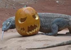 Draghi di Komodo e lontre giganti: Halloween da paura (ma non per loro) Gli ultimi arrivi al Parco Naturaviva alle prese con le zucche di Ognissanti. Ma la vera preoccupazione è per le sorti delle due specie in natura, dove sono a rischio di estinzione - Corriere Tv