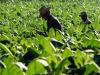 Tabacco: Bellanova, no accordi a ribasso con multinazionali