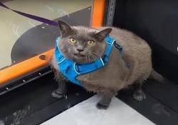La  gatta obesa che si esercita sul tapis roulant: il video da milioni di clic La routine di allenamenti di «Cinderblock» ha conquistato internet - CorriereTV