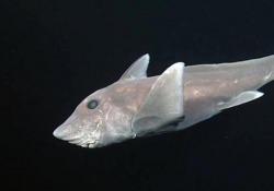 «Squali fantasma»: nel regno delle chimere a 2000 metri di profondità Noti come «squali fantasma» questi pesci, apparsi sin dall'era dei dinosauri, si fanno vedere solo molto di rado - CorriereTV