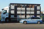 Tir per il trasporto di animali vivi, diverse irregolarità in Sicilia: scattano le sanzioni