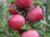 La nuova varietà di mela Fuji del CIV