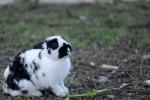 Coniglio è animale di compagnia, chiudono molti allevamenti