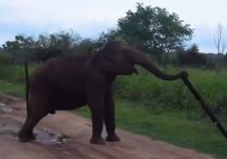 Elefante rompe la recinzione elettrica e «sconfina»per cercare da mangiare  Azione sorprendente di un pachiderma che scardina un palo in legno in un parco indiano - Corriere Tv