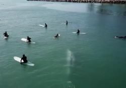 Enorme balena nuota sotto i surfisti: il video dal drone che riprende la scena La balena è passata sotto le tavole e ha mosso la coda più volte prima di allontanarsi - Corriere Tv