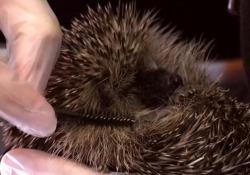 Il cucciolo di riccio si fa spazzolare con lo scovolino del mascara Dopo un appello social, in un centro di soccorso per animali in Scozia, sono arrivati 250 mila scovolini - Ansa
