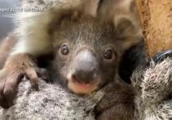 Melbourne, il baby koala si affaccia dal marsupio della mamma Il cucciolo è nato cinque mesi fa nello zoo della città australiana - Ansa