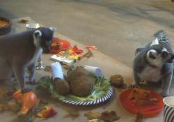 Usa, anche i lemuri hanno la loro Festa del Ringraziamento Due esemplari con la coda ad anelli hanno banchettato con tacchino arrosto e gelatine - Ansa