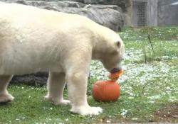 Usa, gli orsi giocano con le zucche di Halloween È successo al Brookfield Zoo, in Illinois - Ansa