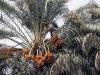 Palma da dattero e sue tradizioni entra in lista Unesco
