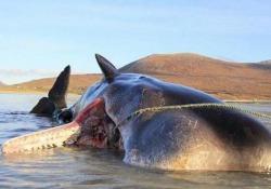 Capodoglio «esplode» sulla spiaggia in Scozia: nello stomaco 100 kg di spazzatura Nello stomaco c'erano reti e corde, buste e piatti di plastica - CorriereTV