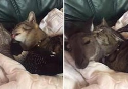Gli amici che non t'aspetti: il gatto, il canguro e la gazza Il filmato dall'Australia mostra i tre animali accoccolati su un divano - CorriereTV
