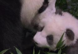 I panda gemelli dello zoo di Berlino: ora hanno un nome A cento giorni dalla nascita scelti i nomi per i due maschietti - Ansa