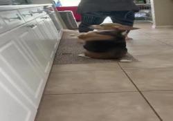 Il cane ballerino: imita la padrona e si muove a tempo di musica Le immagini virali - Corriere Tv