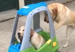 """Il video più dolce di oggi: il Labrador Lizzy spinge il fratello  sulla macchina giocattolo """"Lizzy, The Labrador"""" è un cane terapeutico che lavora con i bambini autistici - CorriereTV"""