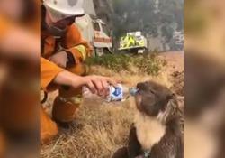 Il vigile del fuoco disseta il koala assetato: il commovente video dall'Australia ancora in fiamme Le immagini diffuse su Facebook - Corriere Tv