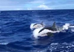 Le orche accompagnano la barca a vela nella traversata atlantica Un fenomeno rarissimo - Corriere Tv