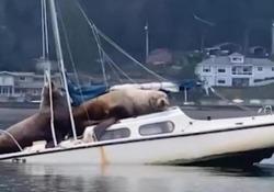 Leoni marini a bordo di una barca a vela: il riposino che fa finire la prua in acqua I due giganteschi animali sono stati ripresi in video nella baia di Olympia, nello stato di Washington, Stati Uniti - Corriere Tv