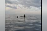 Orche nello Stretto di Messina, nessun avvistamento: continuano le ricerche