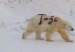 Orso polare con scritta nera sul pelo: il mistero nell'Artico russo Allarme dagli esperti per il video di un orso bianco a cui è stata disegnata sulla pelliccia una scritta di vernice nera - Corriere Tv