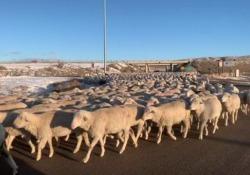 Usa: l'automobilista sorpreso da migliaia di pecore Il curioso incontro di un automobilista che si è visto sfilare su una strada migliaia di pecore - CorriereTV